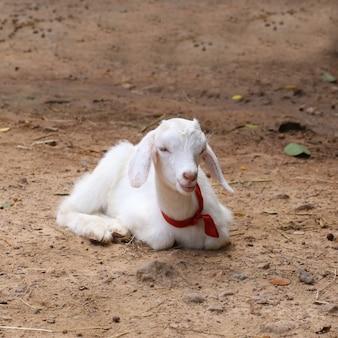 Mouton nouveau né