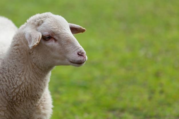 Mouton, pâturage, dans, les, pré, à, herbe verte