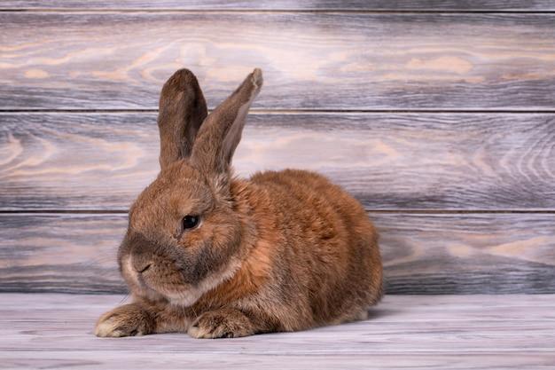 Le mouton de race lapin nain se trouve avec les oreilles levées.
