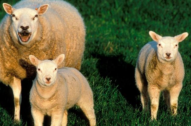 Moutons et agneaux dans le champ