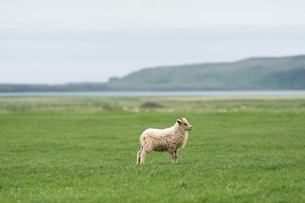 Moutons blancs d'islande au pâturage. champ avec de l'herbe verte. vue du cap dyrholaey sur la côte sud, non loin du village vik
