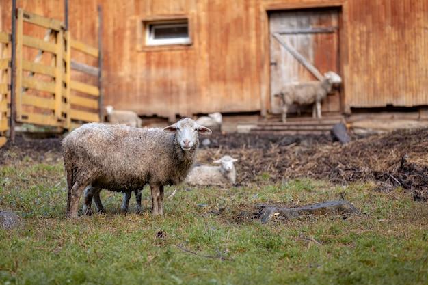Moutons bouclés blancs derrière un enclos en bois à la campagne. les moutons et les agneaux paissent sur l'herbe verte. élevage de moutons. entretien ménager.
