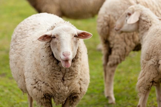 Moutons broutant dans le pré avec de l'herbe verte