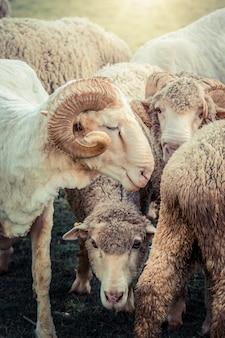 Moutons sur le champ d'herbe verte dans la maison de ferme.