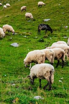 Moutons sur les champs de montagne.