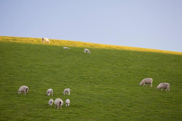 Moutons dans le champ mangeant de l'herbe