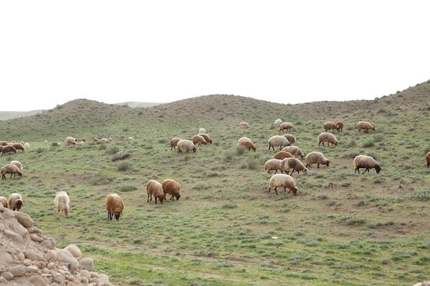 Les moutons dans le champ mangent de l'herbe