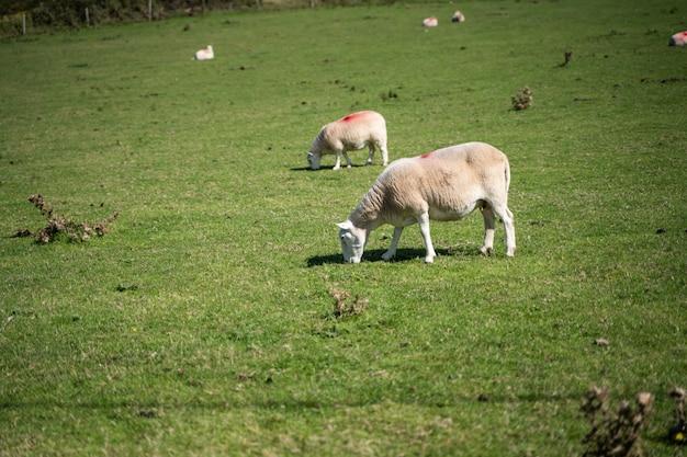 Moutons dans le champ paissant