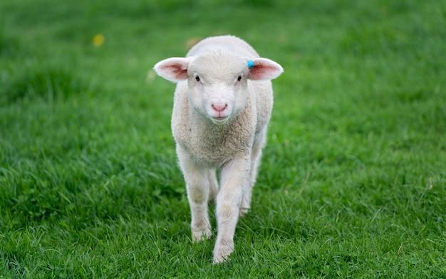 Moutons dans un champ vert
