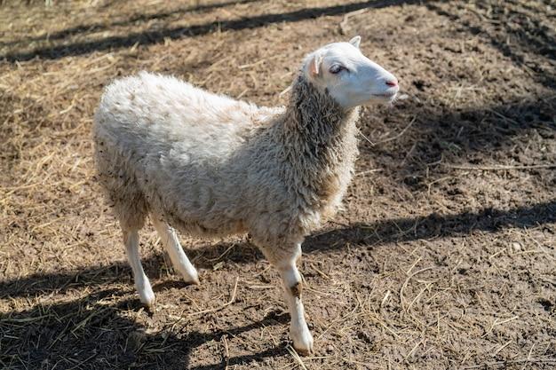 Moutons dans le corral. animaux de compagnie moutons à la ferme.