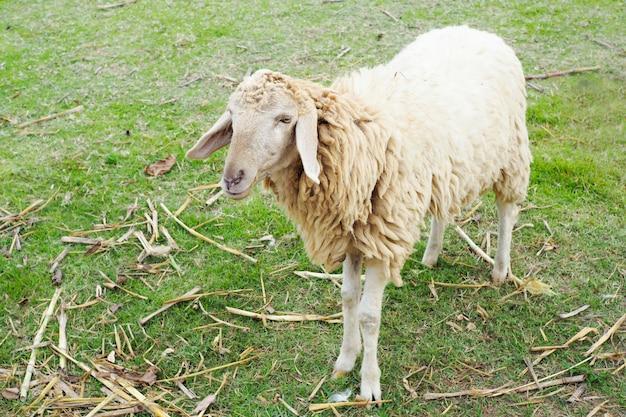 Moutons dans une ferme avec de l'herbe verte