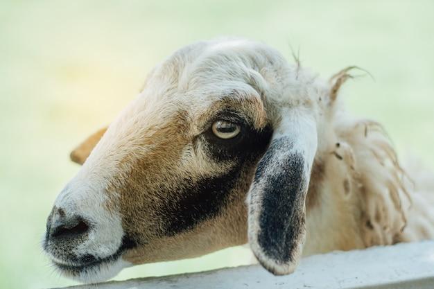 Moutons dans la ferme de moutons en attente de se nourrir