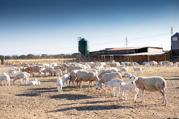 Moutons dans une ferme pendant l'été. l'agriculture en plein air.