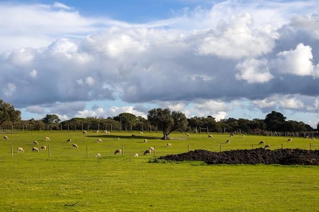 Moutons dans l'herbe verte