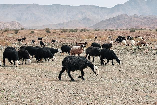 Moutons dans les montagnes de l'arabie saoudite