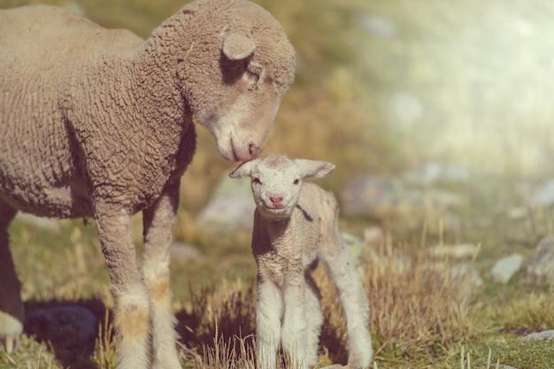 Moutons dans les montagnes
