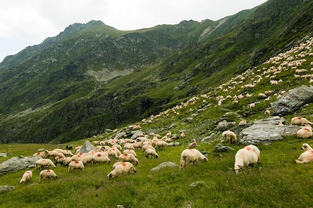 Moutons dans un pré en montagne. beau paysage naturel sur les montagnes transfagarasan en roumanie