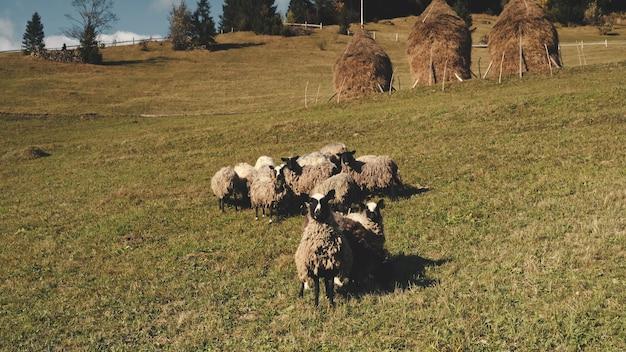 Les moutons drôles de plan rapproché regardent le paysage aérien de nature de caméra les terres agricoles rurales avec la ferme de pâturages