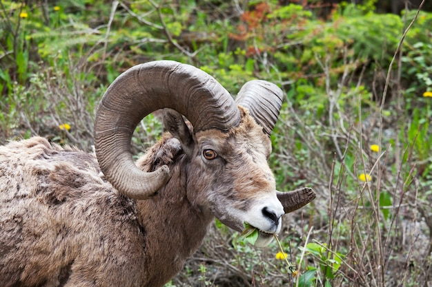 Moutons à grandes cornes, dans le parc national banff en automne, montagnes rocheuses, canada