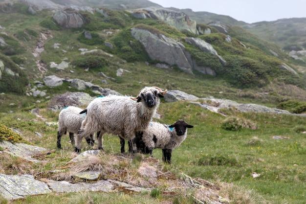 Moutons en gros plan dans des scènes de montagnes, promenade à travers le grand glacier d'aletsch, route aletsch panoramaweg dans le parc national suisse, europe. affiche d'impression, image, photo, image, couverture