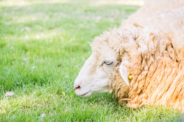 Moutons sur l'herbe verte