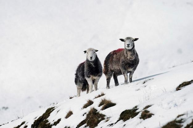 Moutons herdwick au snowy lake district en ecosse