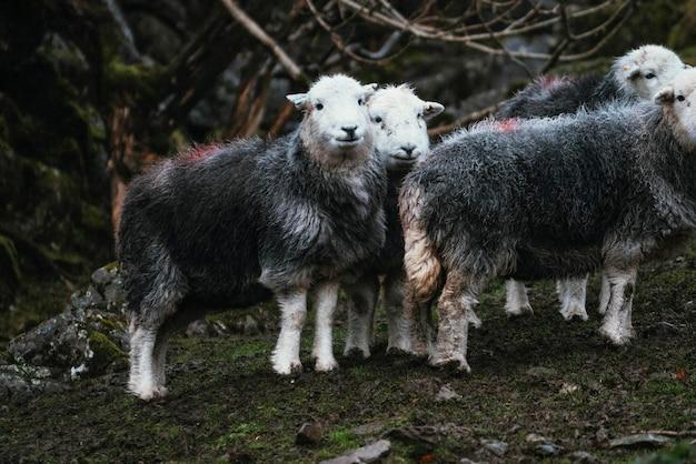 Moutons herdwick sur le terrain dans une ferme