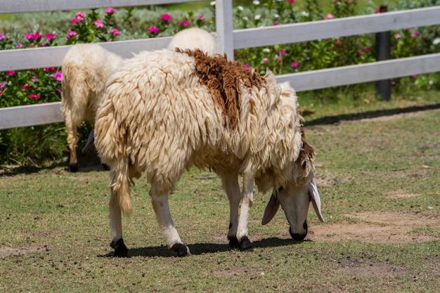 Moutons mangent de l'herbe dans la ferme
