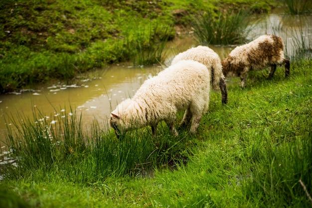 Les moutons mangent de l'herbe près de la rivière