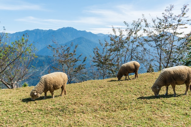 Moutons mangent de l'herbe sur le terrain en journée ensoleillée.