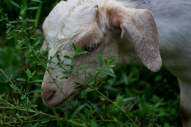 Les moutons mangent de l'herbe