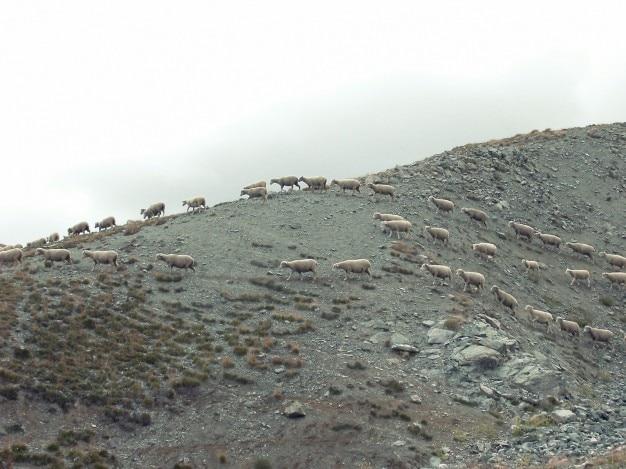 Moutons marche
