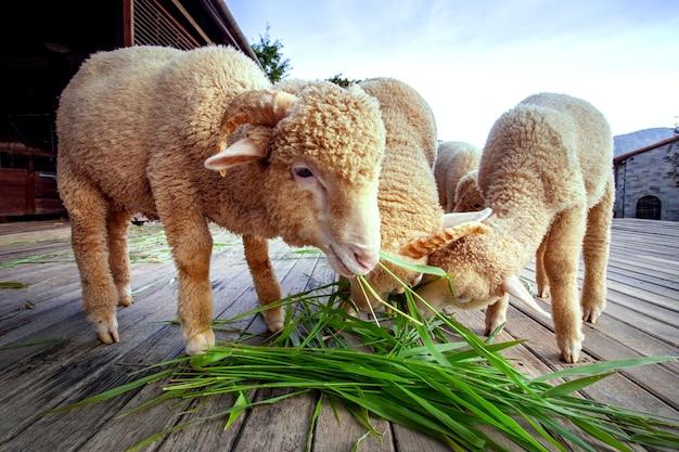 Moutons mérinos mangent de l'herbe dans une ferme rurale