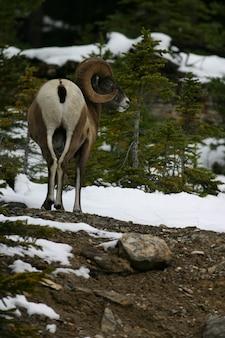 Moutons de montagne argali dans le parc national jasper, canada