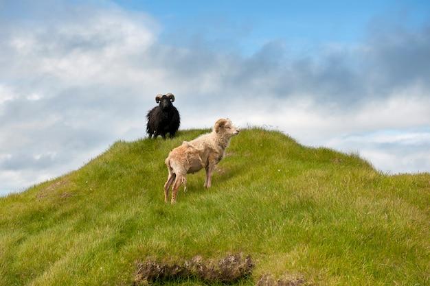 Moutons à mykines, îles féroé