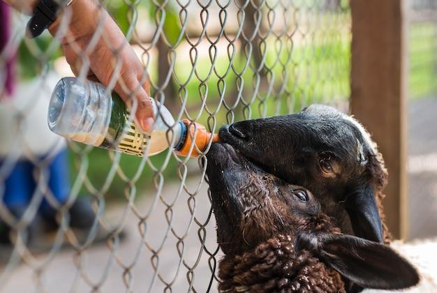 Moutons à nourrir. bouchent la main en nourrissant la bouteille de lait à des moutons mignons dans la ferme.