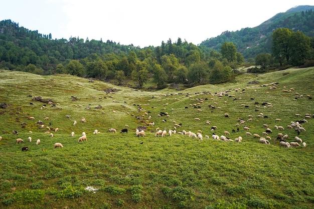 Moutons paissant dans les champs verts