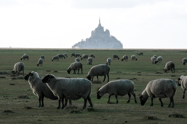 Moutons paissant dans l'herbe devant un immeuble