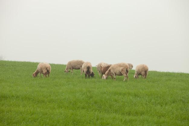 Moutons paissant sur un pré vert