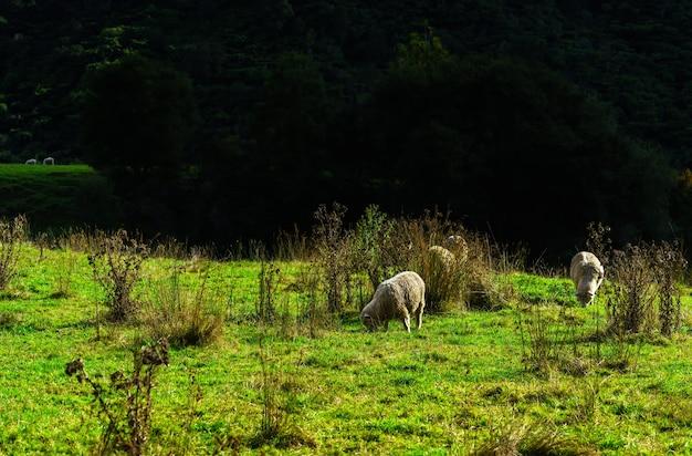 Moutons paissant sur terre, nouvelle-zélande