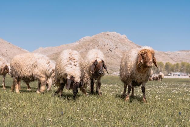 Des moutons paissent dans les champs au pied de la montagne