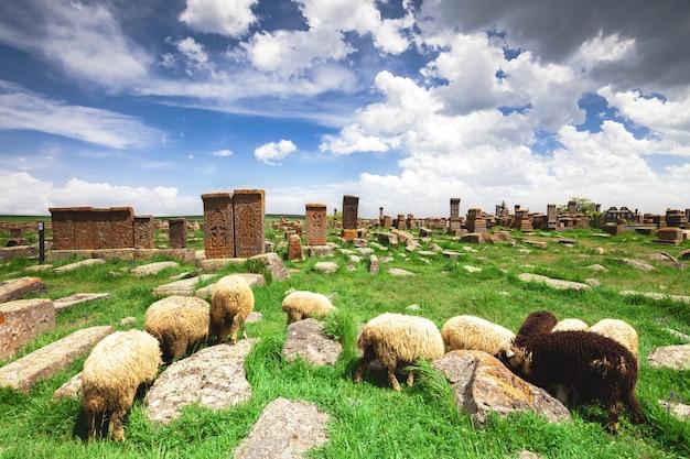Les moutons paissent dans le noratus