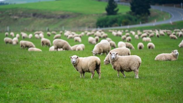 Moutons, pâturage, champ