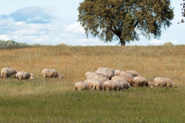 Moutons sur une prairie verte