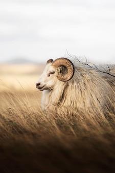 Moutons à queue courte d'europe du nord en islande
