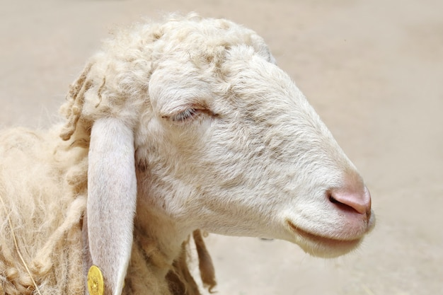 Moutons à la recherche