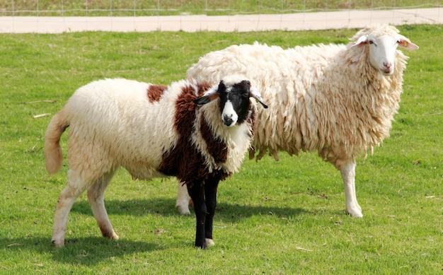 Moutons sur le terrain.