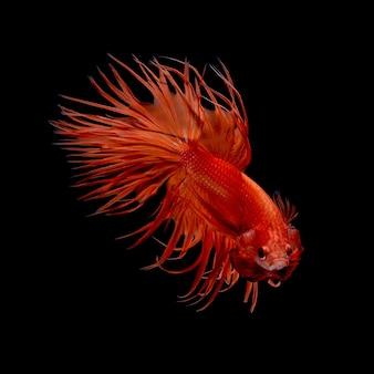 Mouvement d'art abstrait de poissons betta colorés, poissons de combat siamois isolé sur fond noir.concept de design d'art fin.
