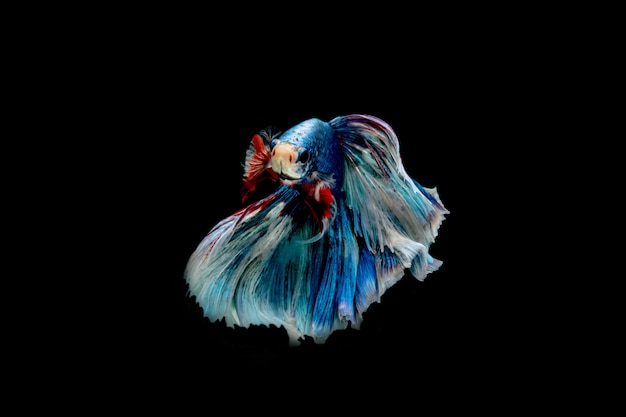 Mouvement du poisson betta siamois isolé sur fond noir.