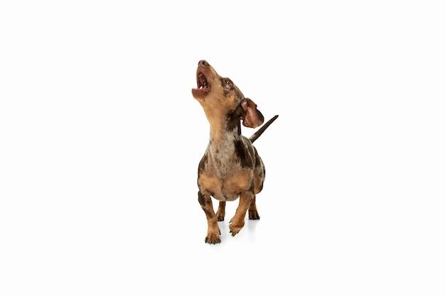 Mouvement. mignon chiot doux de chien brun teckel ou animal de compagnie posant isolé sur mur blanc. concept de mouvement, amour des animaux de compagnie, vie animale. il a l'air heureux, drôle. copyspace pour l'annonce. jouer, courir.